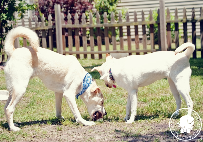 labradors-playing-together