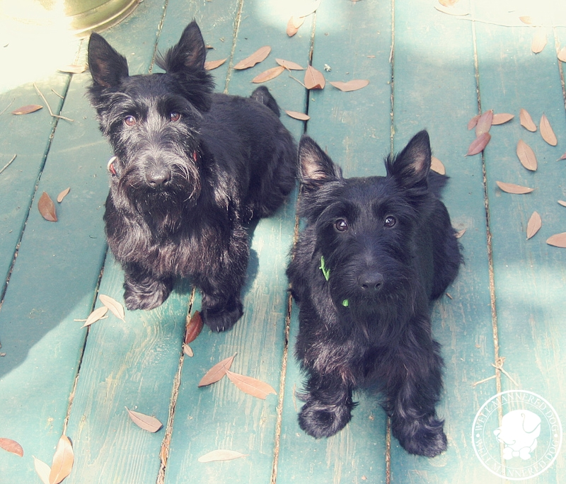 scottish-terriers-on-porch