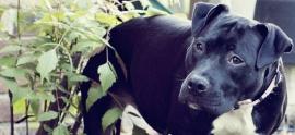 american-staffordshire-terrier-summerville