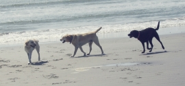 dogs-play-kiawah-beach
