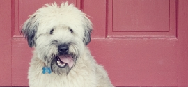 wheaton-terrier-west-ashley
