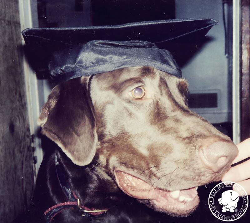 graduation-labrador