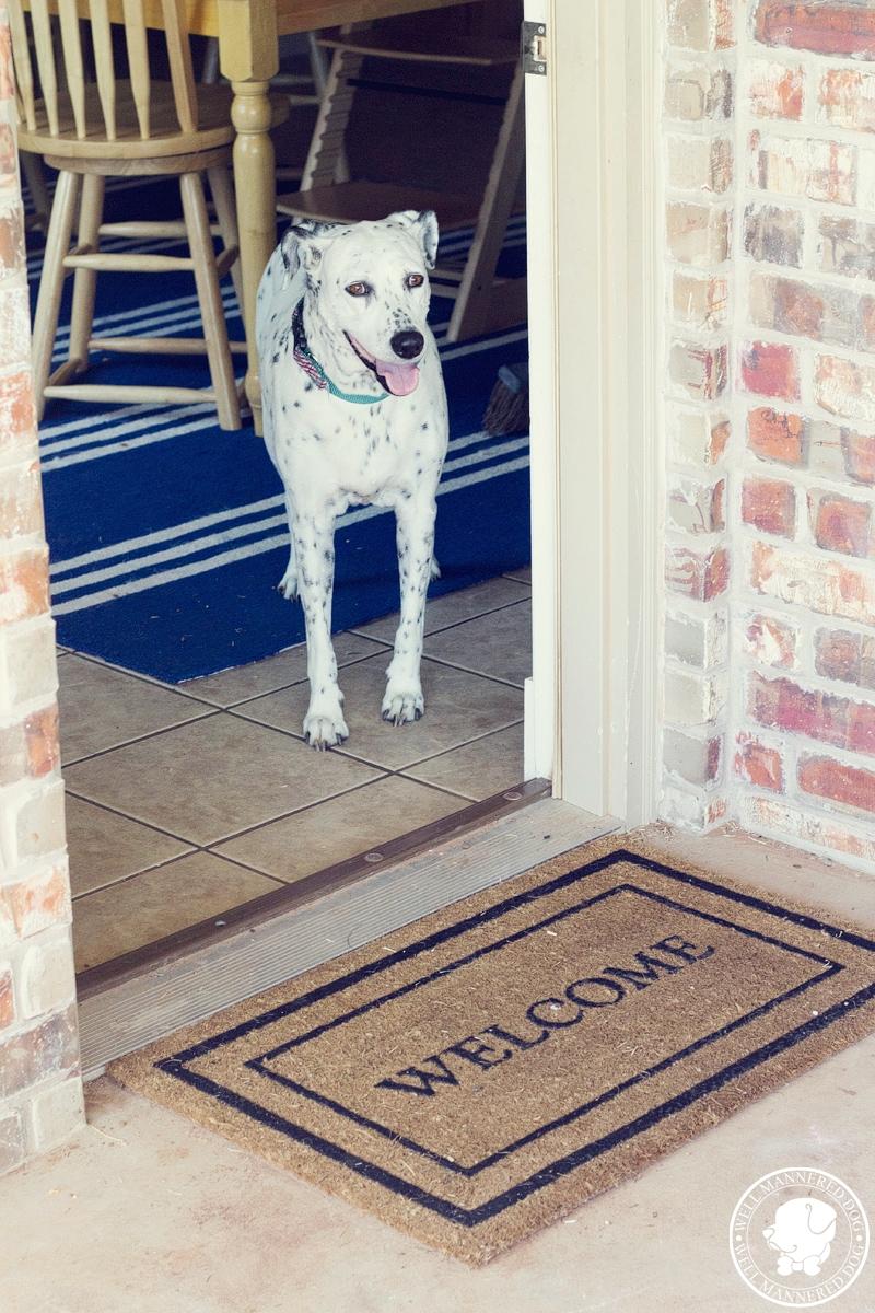 dalmatian-wait-at-door
