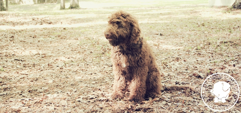 labradoodle-sit-stay