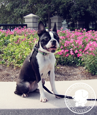 boston-terrier-sit-stay-waterfront-park