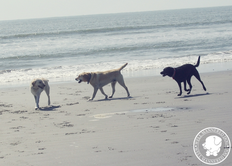 dogs-play-kiawah-beach