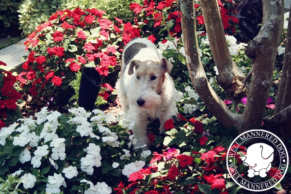fox-terrier-kiawah