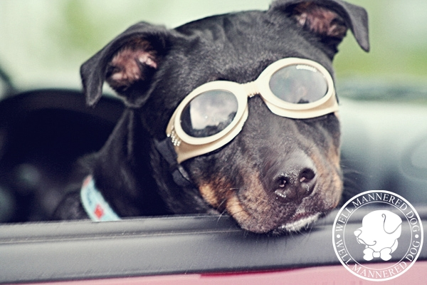 mixed-breed-doggles