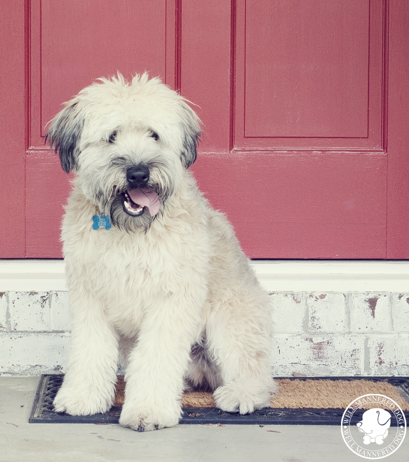 wheaton-terrier-west-ashley