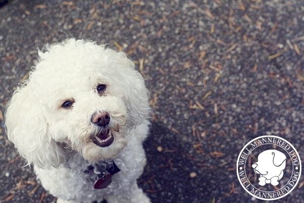 miniature-poodle-look-up