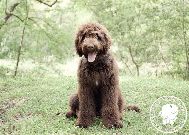 4 mo old labradoodle puppy