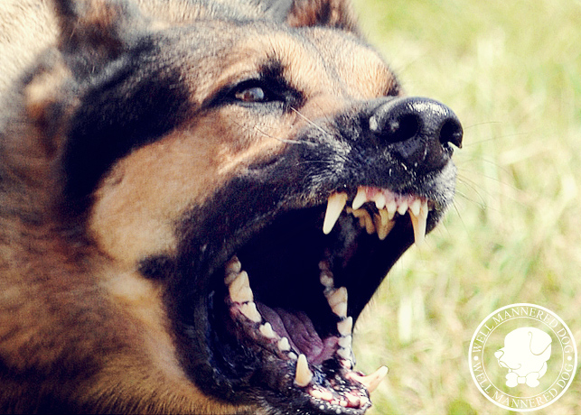 Training For Aggressive Dogs How To Fix A Dog With