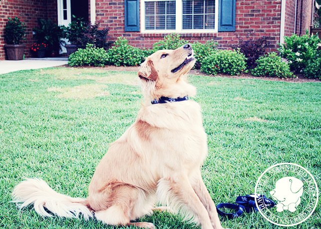 Golden Retriever Mix Performing Sit-Stay
